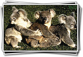 The ever-popular Koalas
