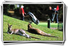 Kangaroos relax at the country club